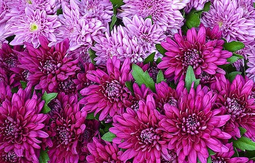 Two types of Chrysanthemum grow together in the wild, bearing different purple tones