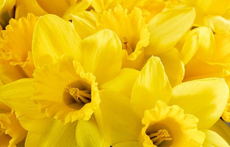 Photograph of daffodils