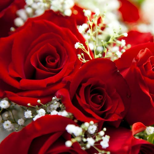 Three deep red roses in a tight bundle