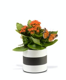 "4"" Kalanchoe plant in ceramic planter vase"