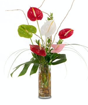 Assorted colors of Anthuriums in cylinder vase