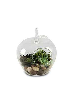 Glass Apple Terrarium with 3 small succulent plants