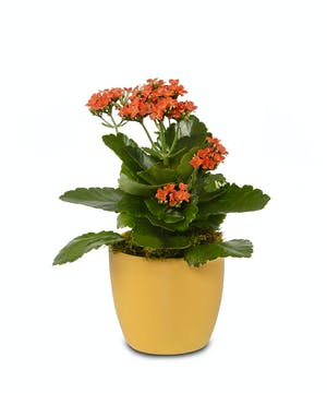 Beautiful Kalanchoe plant in ceramic pot