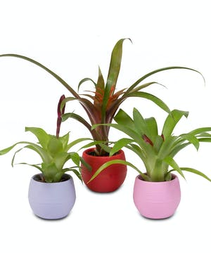 "2 1/2"" Bromeliad Plant in self-watering container"