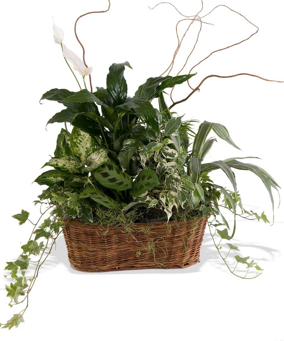 About peace lily with green plants basket from walter knoll florist about peace lily with green plants basket from walter knoll florist saint louis missouri izmirmasajfo