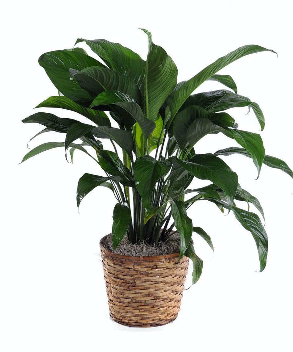 About the peace lily spathiphyllum walter knoll florist delivery a classic peace lilly izmirmasajfo